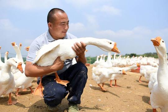 تربية الأوز ومكافحة الفقر في قرية شرقي الصين
