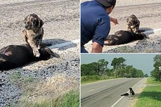 مشهد مؤثر.. كلب يحمي جثمان شقيقته المتوفية بعيدا عن الطريق