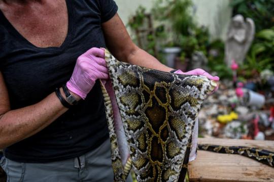 رجل في فلوريدا يصنع كمامات من جلود الأفاعي