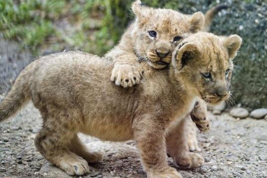 ولادة أسدَي بوما في حديقة حيوانات مكسيكية