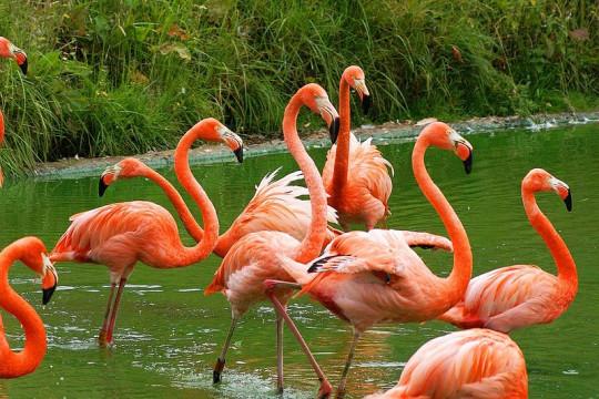 طيور الفلامينغو ومالك  تعود لموطنها بفضل كورونا