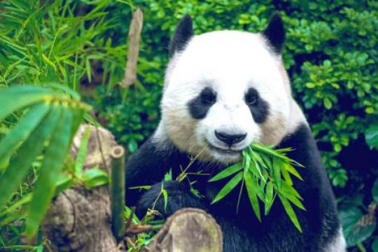 عودة اثنين من الباندا العملاقة من كندا إلى الصين قبل سنتين من الموعد المُحدد بسبب وباء كورونا