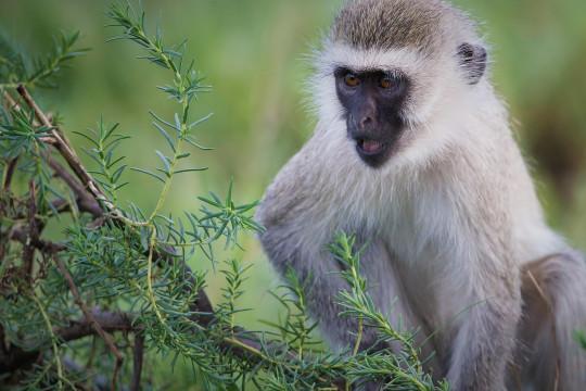 هل ينقل الإنسان كورونا إلى القردة؟